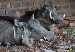 Warthogs asleep under the main deck at Warthog Lodge