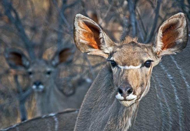 Kudu visiting Warthog Lodge