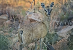 Klipspringer at Warthog Lodge