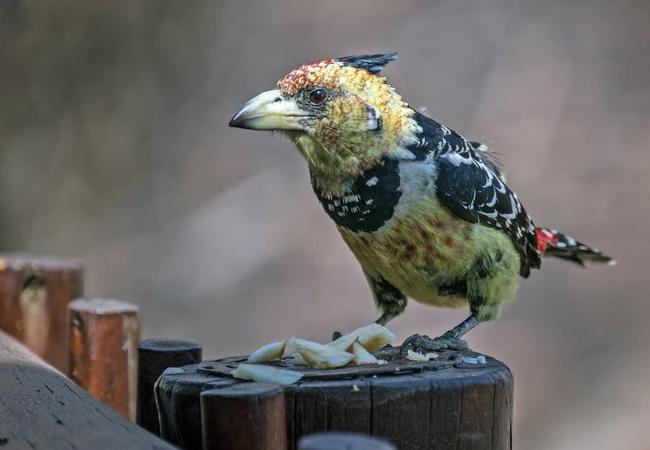 Crested Barbet at Warthog Lodge
