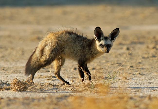 Bat eared fox - photo#20