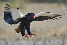 The Bateleur Eagle