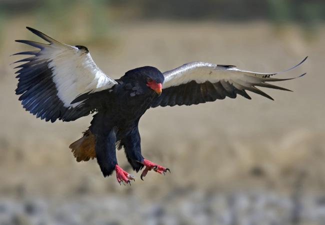Bateleur Eagle {Terathopius Ecaudatus}