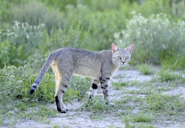 Black-footed Cat {Felis nigripes}