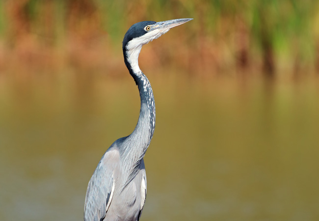 Black headed heron - photo#23
