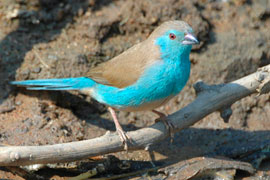 The Blue Waxbill