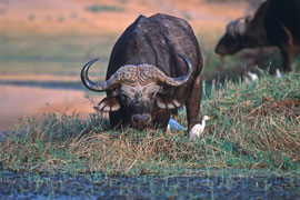 Buffalo in Ithala Game Reserve