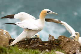The Cape Gannet