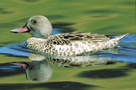 The African Cape Teal