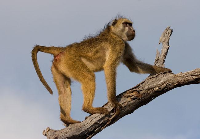 Chacma baboon - photo#12