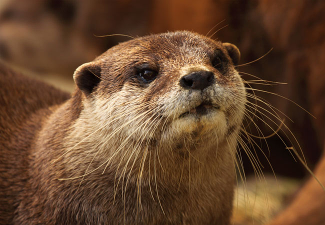 African Clawless Otter Aonyx Capensis