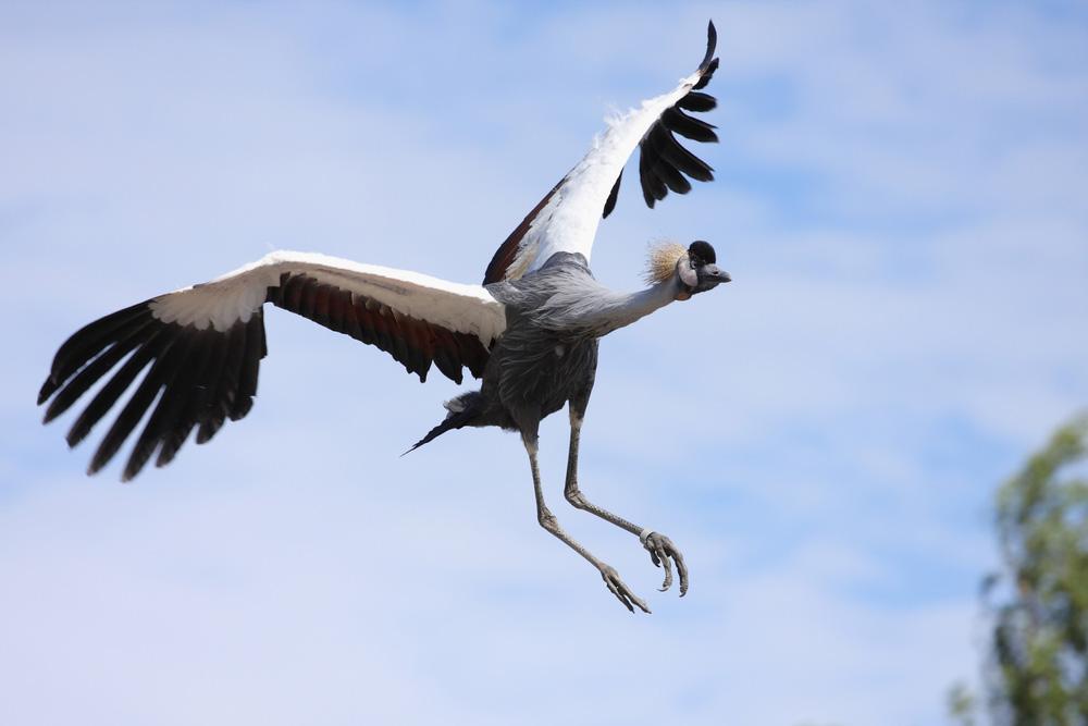 Grey Crowned Crane {Balearica regulorum}