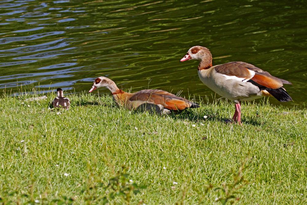 Egyptian Goose {Alopochen aegyptiacus}