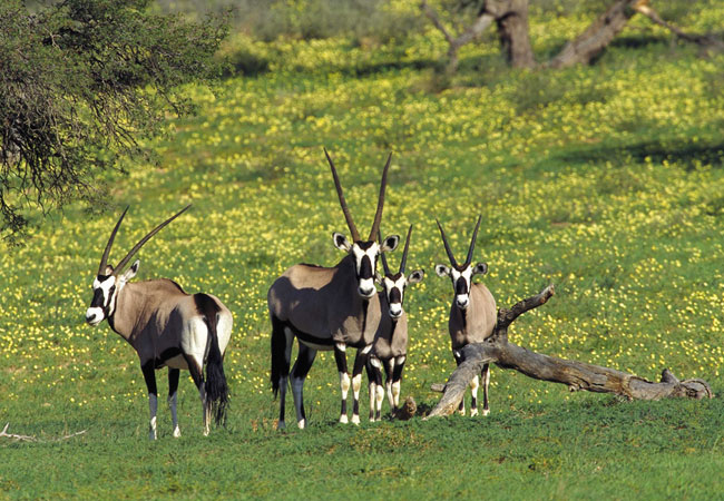 Wildlife gemsbok on broad shoulder length