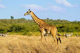 Giraffe in Ithala Game Reserve
