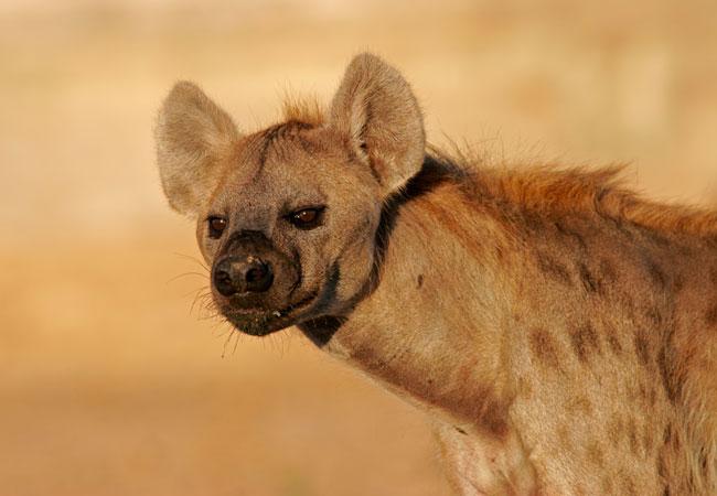 Hyena Crocuta Crocuta