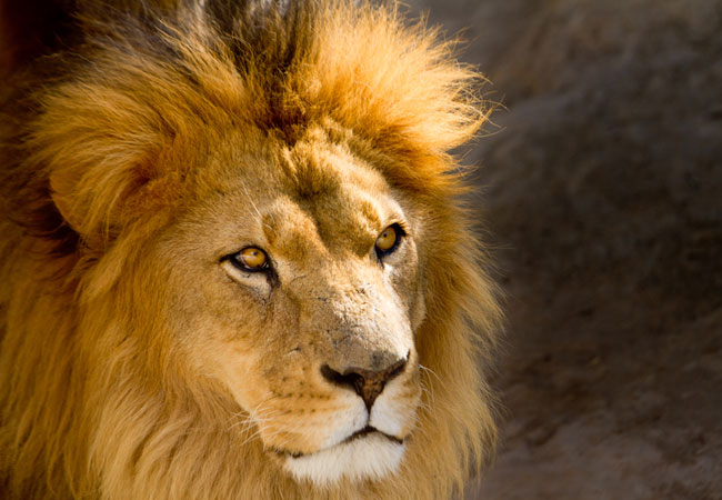 Lion {Panthera Leo}