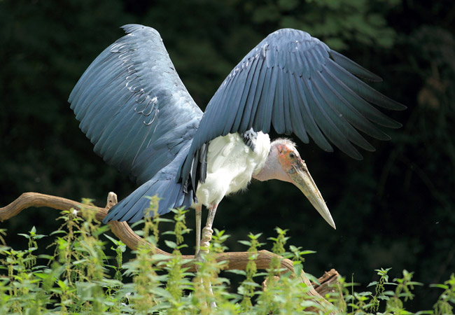 marabou stork leptoptilos crumeniferus