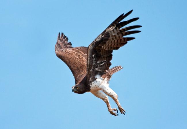 Martial Eagle {Polemaetus Bellicosus}