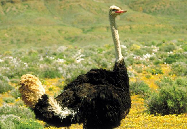 Ostrich Struthio Camelus