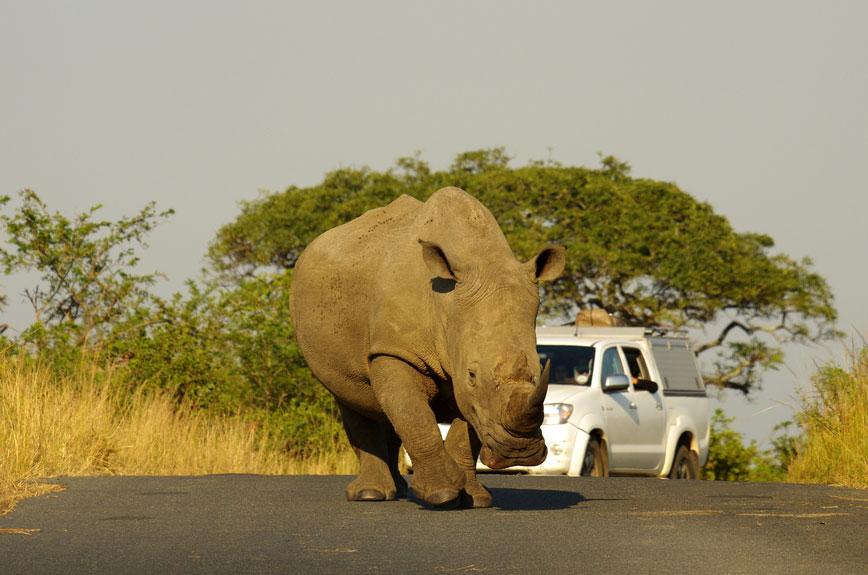 Rhinoceros {Diceros bicornis}