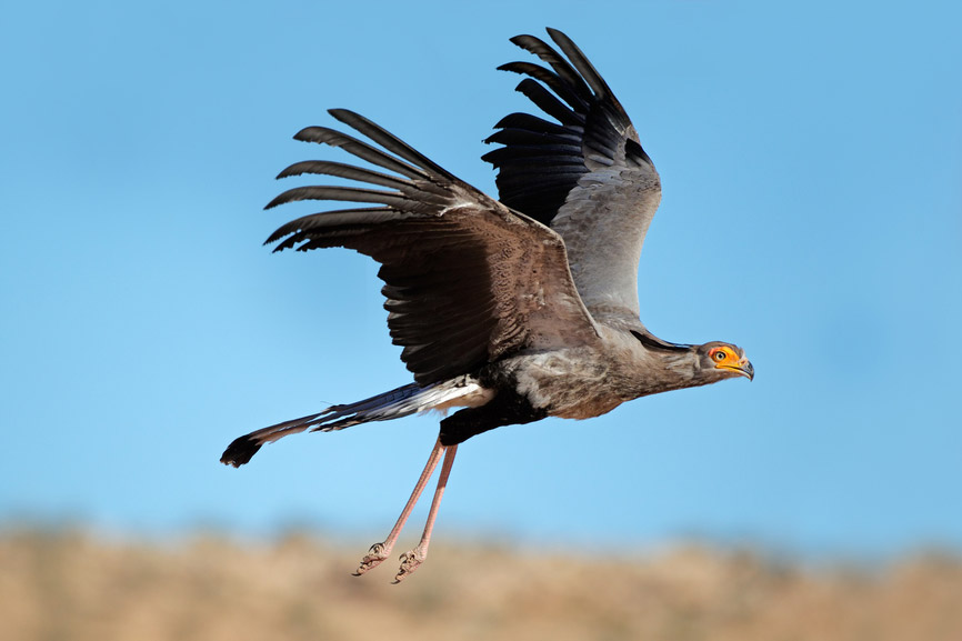 Secretary Bird {Sagittarius serpentarius}