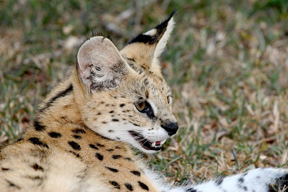 Serval {Felis serval}