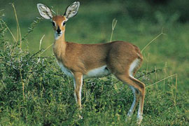 The Steenbok