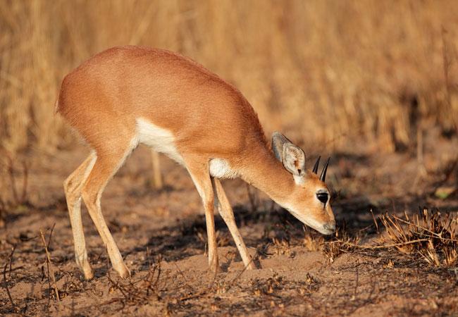 Steenbok {Raphicerus campestris}