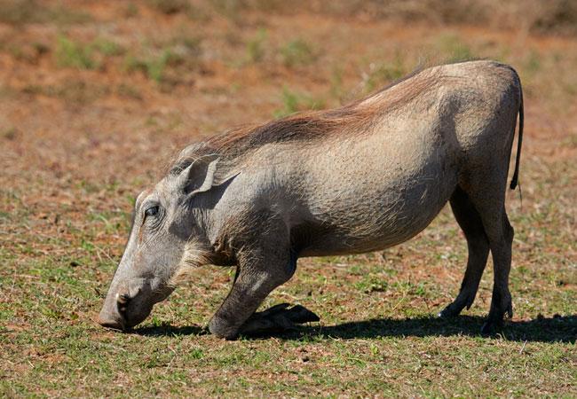 warthog phacochoerus aethiopicus