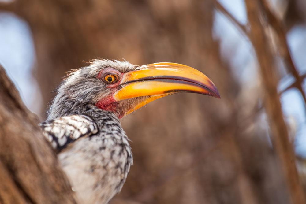 Yellow-billed Hornbill {Tockus leucomelas}