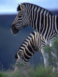 http://www.sa-venues.com/wildlife/images/zebra.jpg